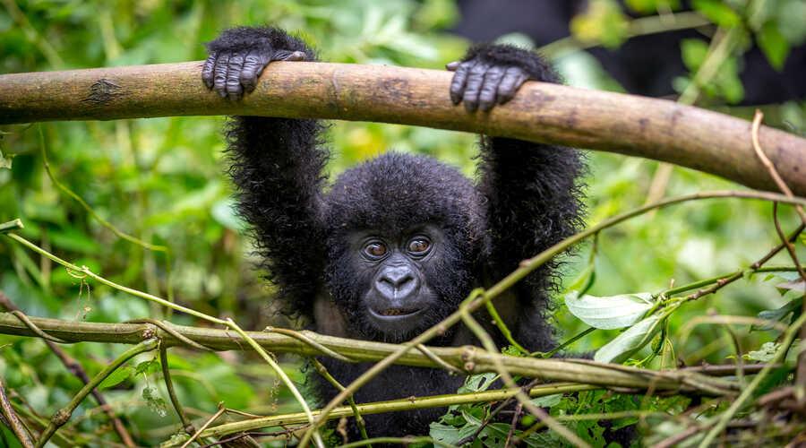Baby Gorilla Uganda