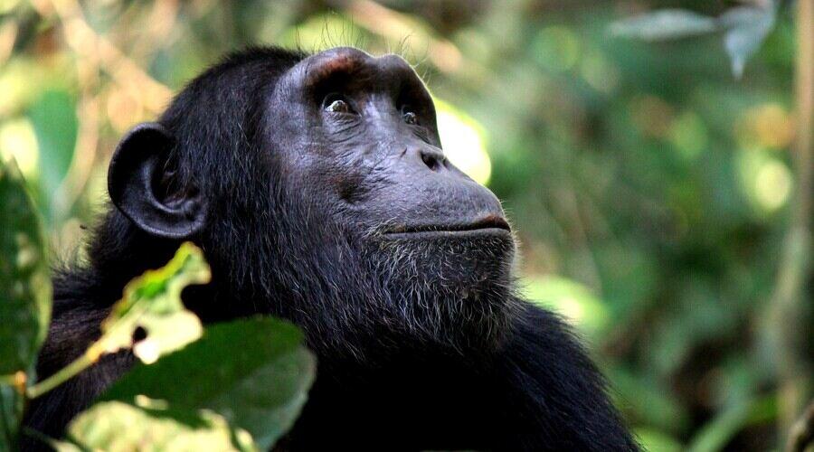 Chimp Uganda