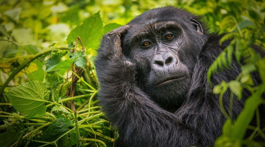 Gorilla Bwindi Uganda