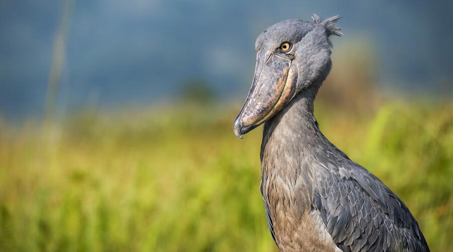 Shoebill Uganda