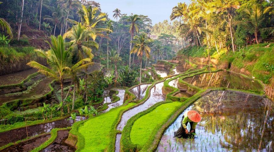 Bali, Rice field Indonesia
