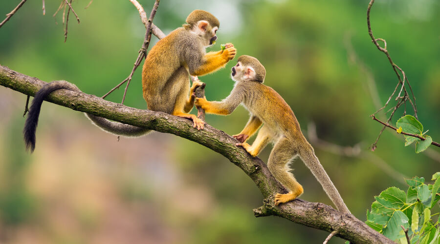 squirrel monkeys Amazon