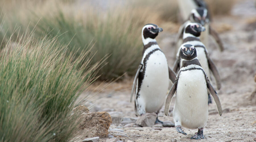 Penguins Chile
