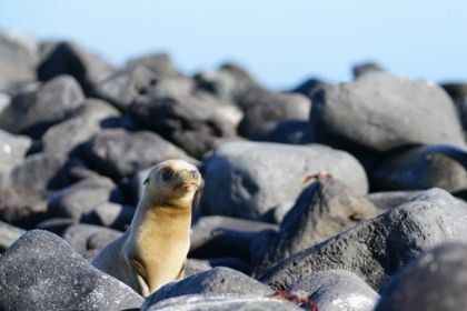 Seal pup in Galapagos