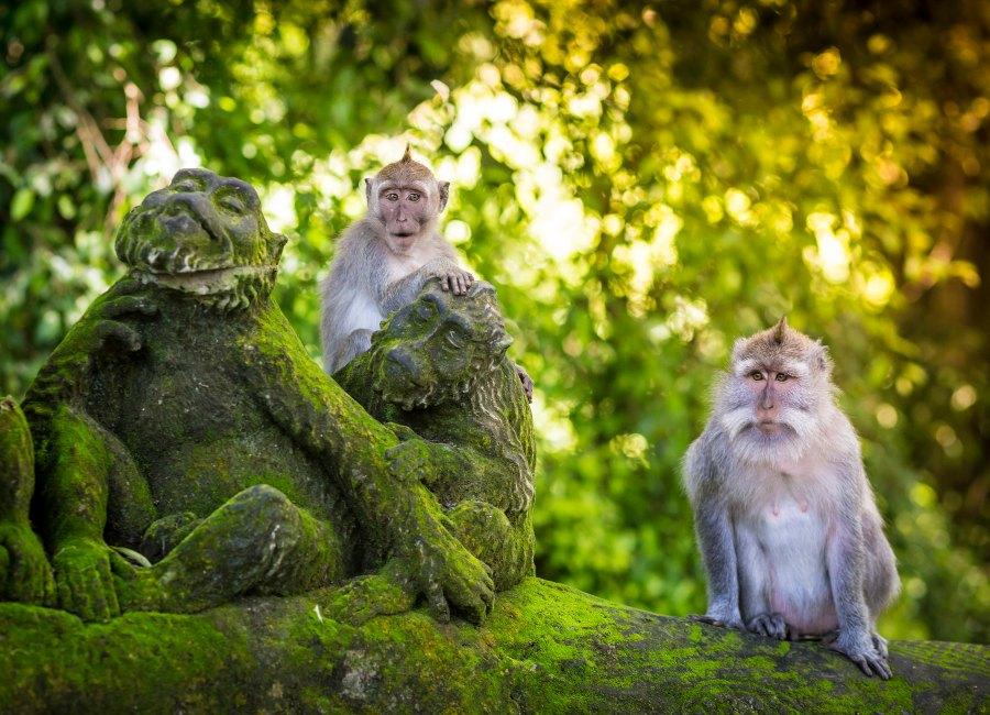 Monkey at Sacred Monkey Forest, Ubud, Bali, Indonesia
