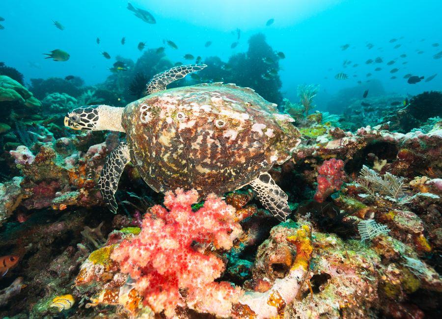 Hawksbill Turtle, Raja Ampat