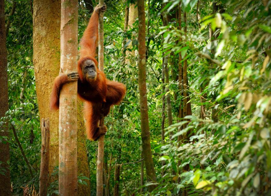 Orang-utan, Bukit Lawang, Sumatra