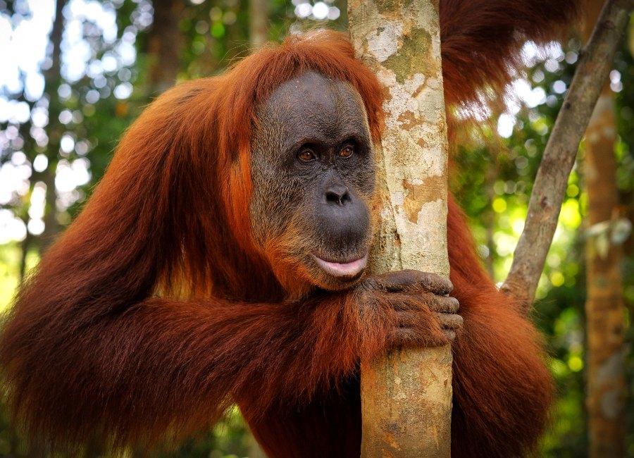 Orang-utan in Bukit Lawang, Sumatra