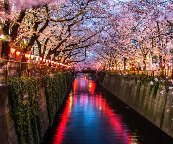 Cherry Blossom on Meguro River, Tokyo