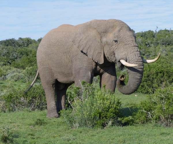 Elephant in Shamwari
