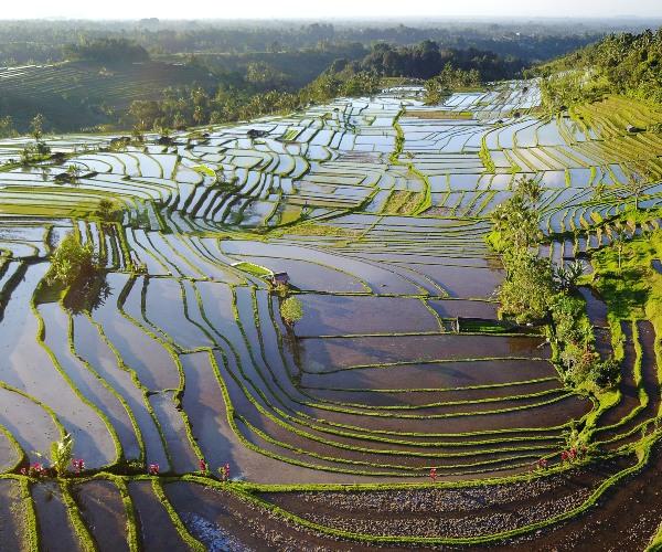 Flooded rice terraces in Jatiluwih, Bali