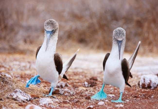 Blue footed bird, Galapagos