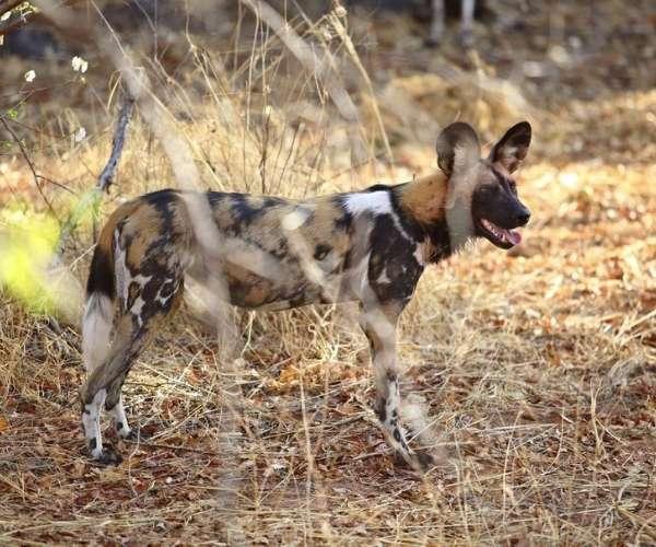 Jabali Ridge Wild dog