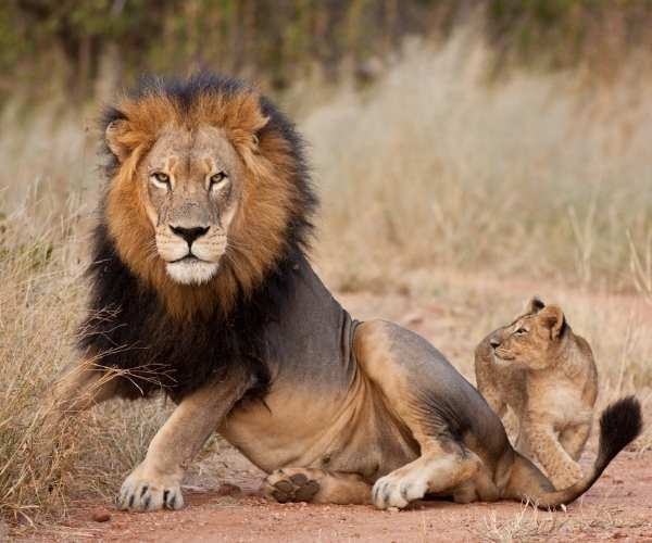 Lions, South Africa
