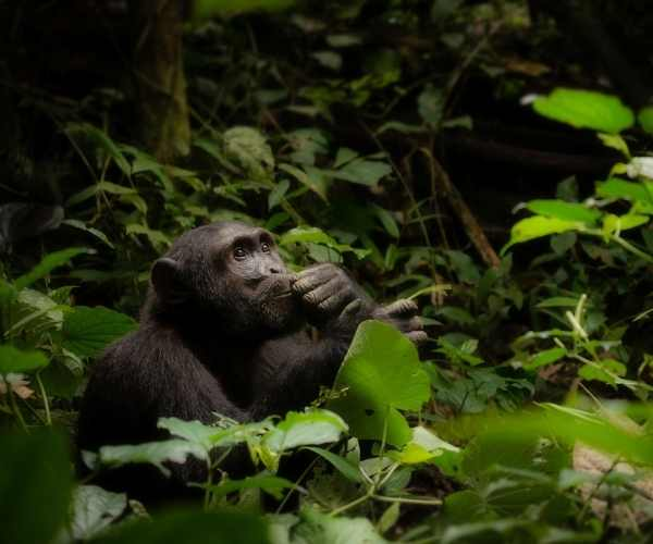 Mountain gorillas - Rwanda
