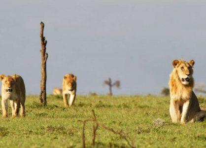 Ol Pejeta Lions