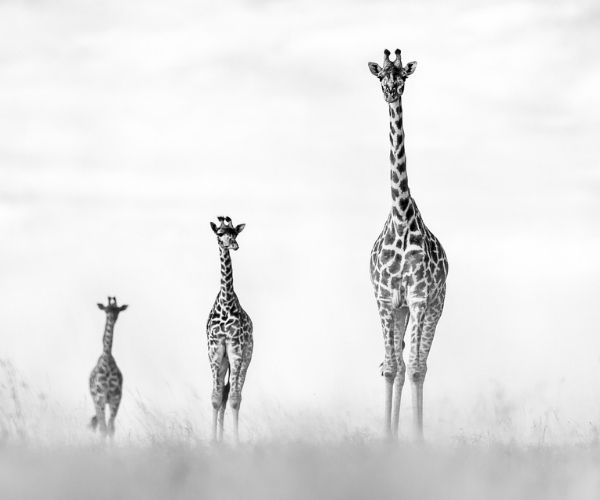 Pie Aerts Giraffe