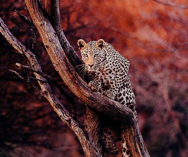 Pie Aerts Leopard