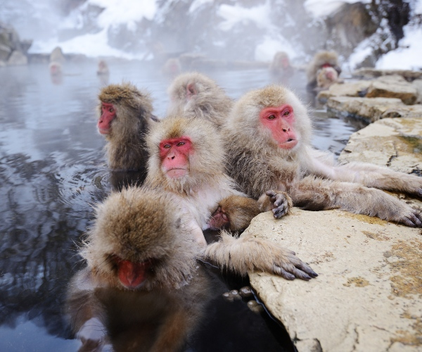 Snow monkeys in Yudanaka Onsen, Japan