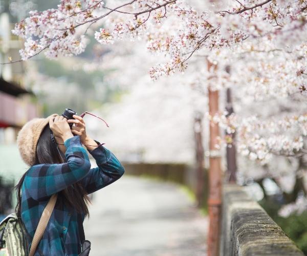 Tourists in cherry blossom season, Japan