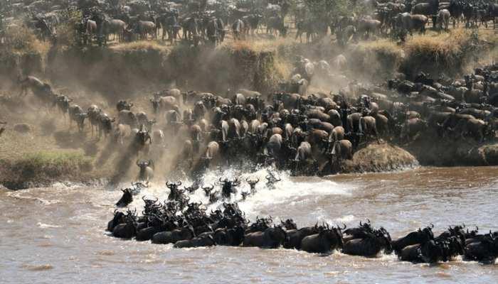 Wildebeest Migration Nomad Lamai