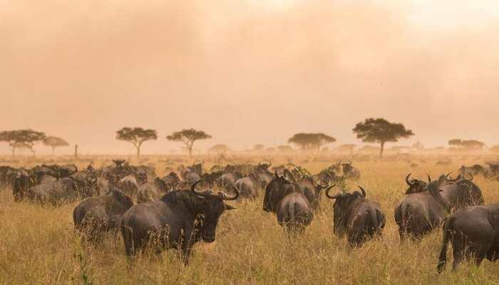 Wildebeest, Nomad Lamai