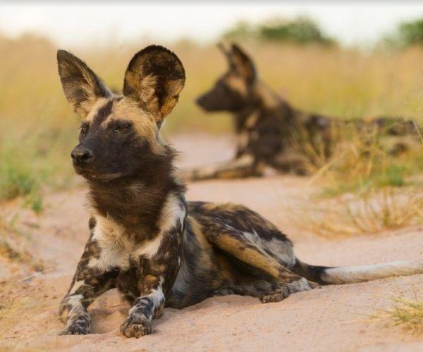African Wild Dog, Southern Tanzania