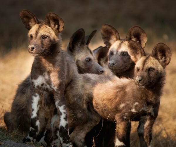 African wild dog Botswana