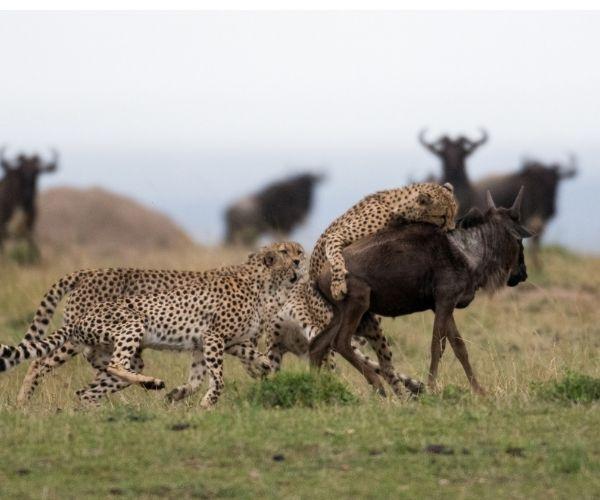 Cheetah and migration - Tanzania