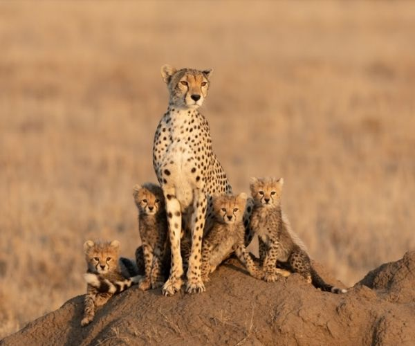 Cheetah in Northern Tanzania