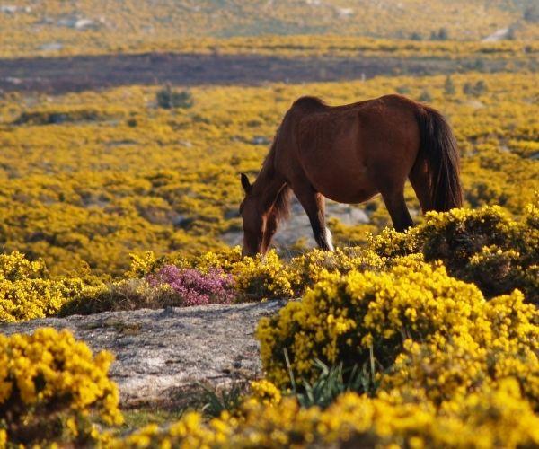 Garrano ponies
